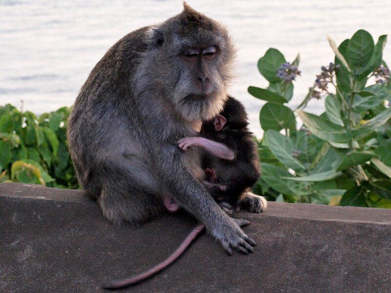 Член обезьян