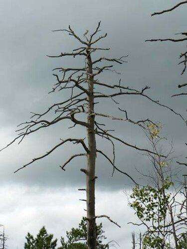 мёртвое дерево_