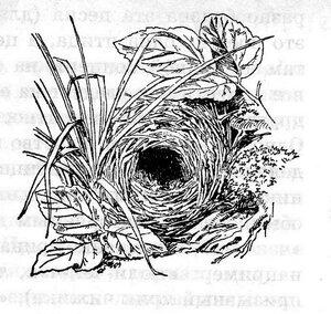гнездо пеночки