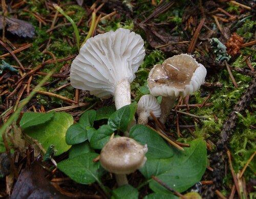 Гигрофор пятнистый (Hygrophorus pustulatus) Автор фото: Владимир Брюхов