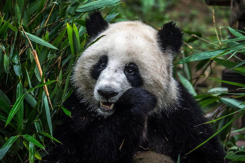 China. Панда