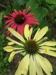 Echinacea 'Mama Mia' и Echinacea Sunrise.JPG