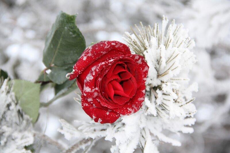 Котиками, розы в снегу открытки
