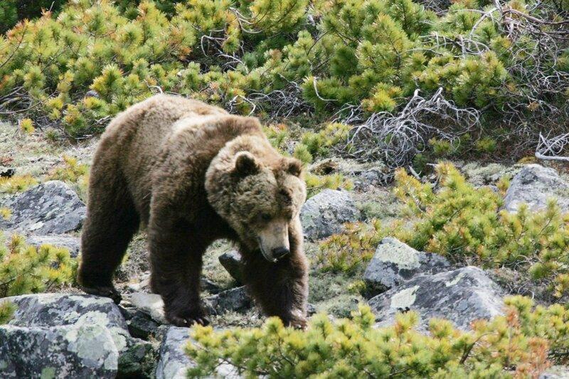 Часть первая.  Большой зверь.  Глава 1. Полярный медведь.
