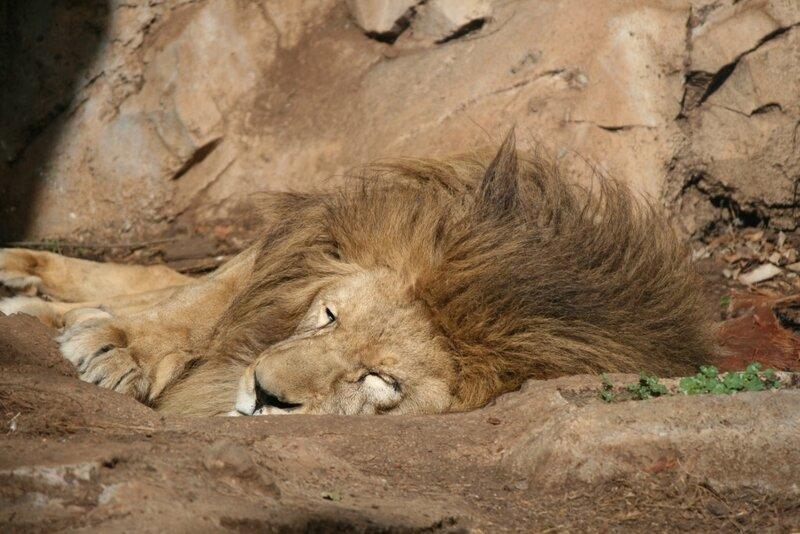 Тенерифе, лев в Джангл Парке