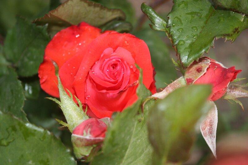 роза, цветы, подарок себе любимой