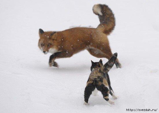 лиса и кот