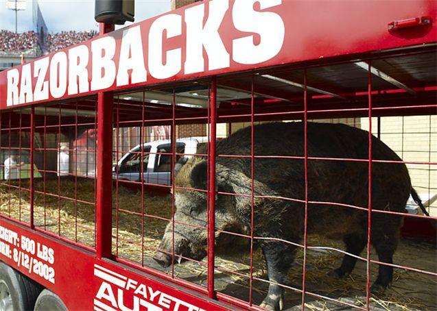 Живые талисманы в студенческом спорте / NCAA Top Real Animal Mascots - Tusk II / Arkansas