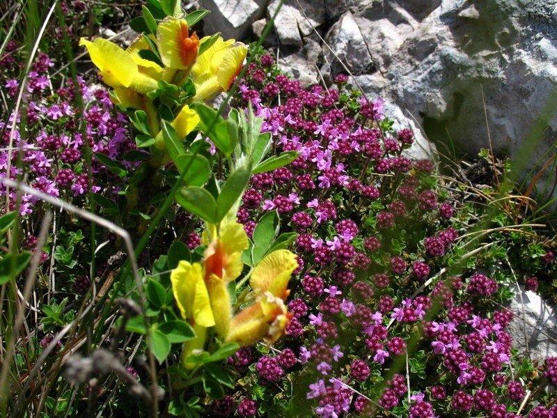 горныe цветы