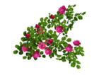 rose bush.png