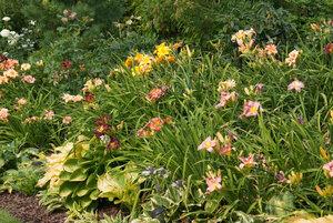 Лилейники в Саду Дракона летом 2011г 0_63756_30eba70c_M