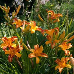 Лилейники в Саду Дракона летом 2011г 0_63783_a95751b8_M