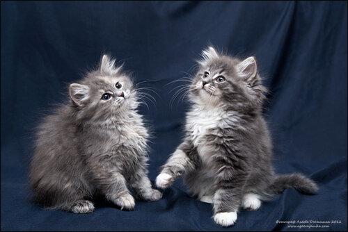 Серые сибирские коты