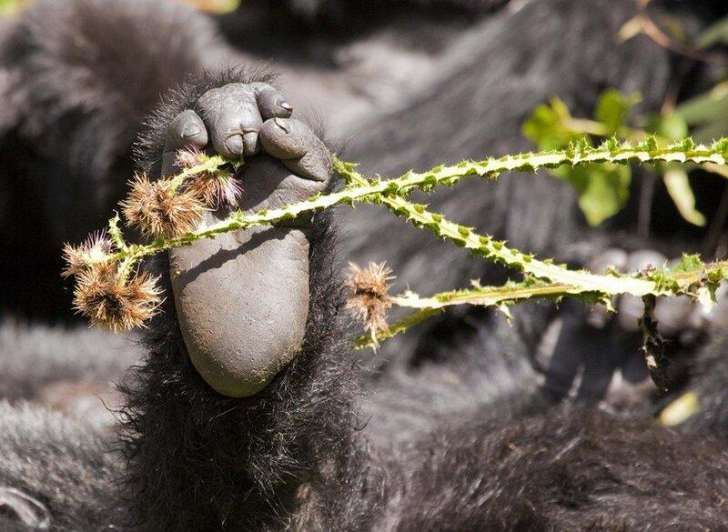 Чертополох и ступня горной гориллы