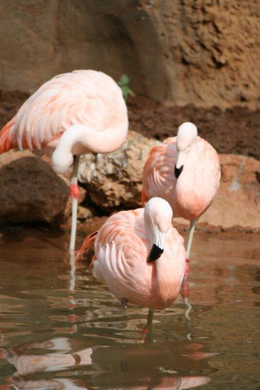 Тенерифе, Розовые фламинго в Джангл Парке