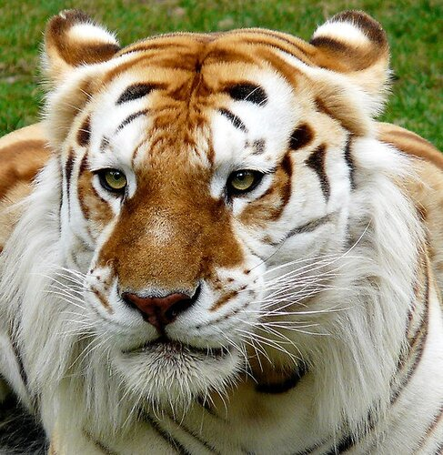 фотографии тигров: