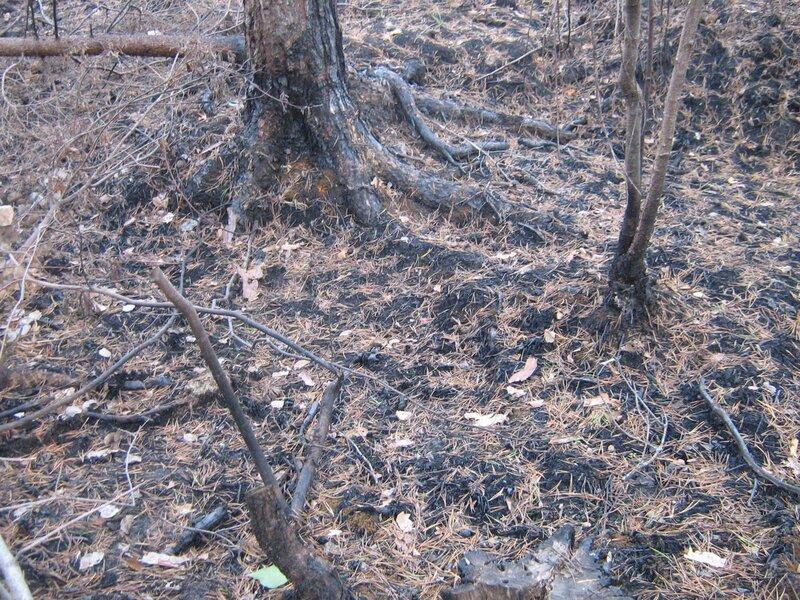 лес после пожара -8