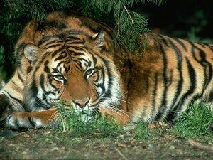 В Приморье недалеко от города Артёма поймали амурского тигра, второго за неделю...
