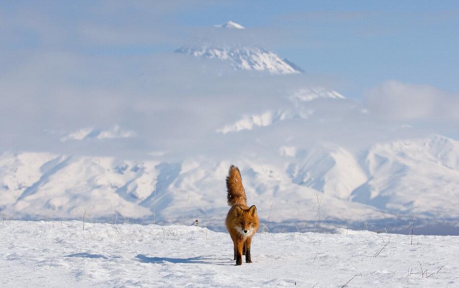 Fox and Kronotsky Volcano