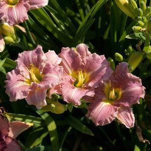 Лилейники в Саду Дракона летом 2011г 0_6374a_56f74ae8_M