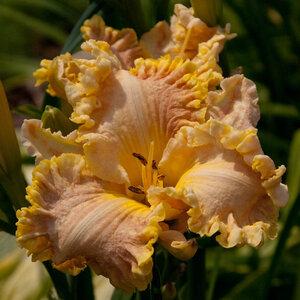 Лилейники в Саду Дракона летом 2011г 0_6377c_99474897_M