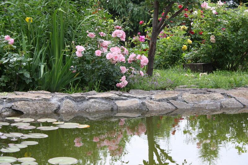 Уже который год мечтаю о большом розарии на берегу пруда. Отражение так красиво...