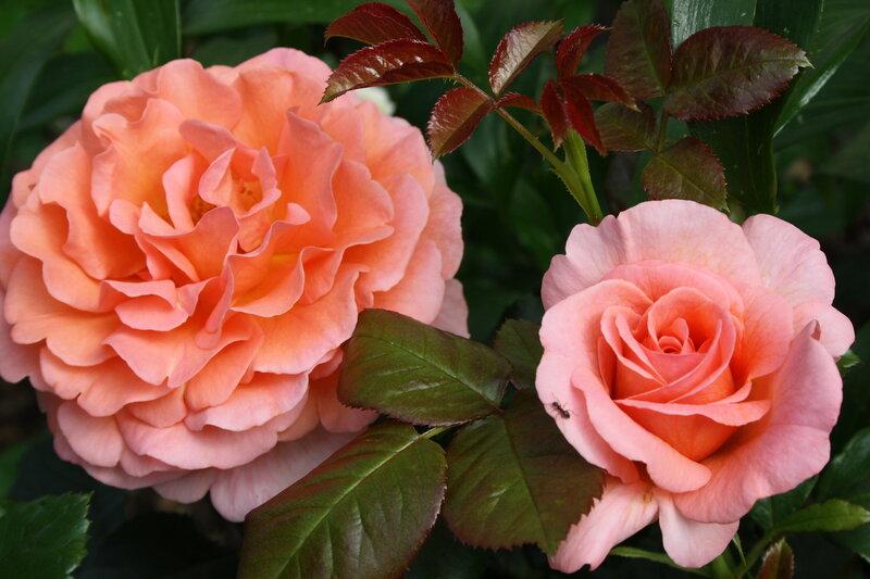 Роза Доктор Джо, флорибунда ( Dr. Jo)Fryer, 1999