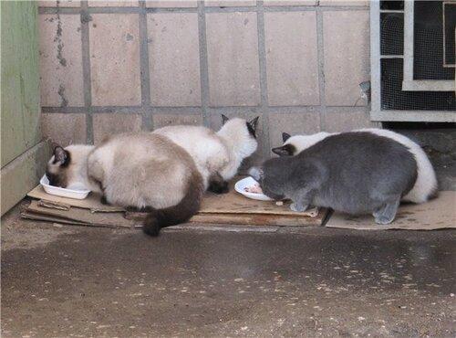Беременная тайская кошка