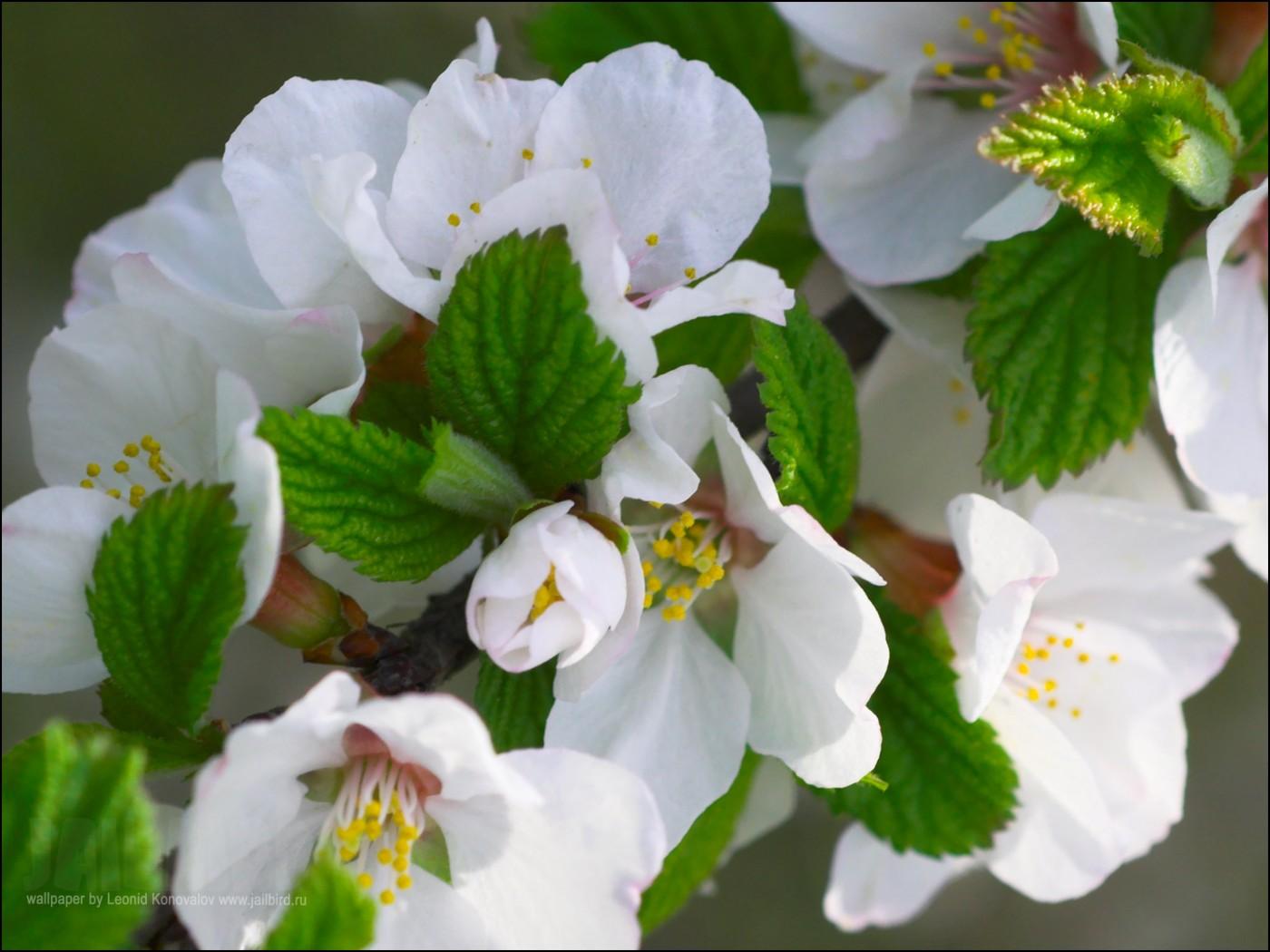 Крупные соцветия яблони на веточке
