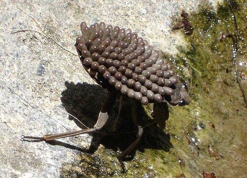 гигантский водяной жук, самые большие насекомые