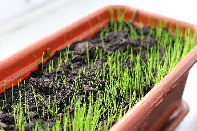 Вырастить газон в домашних условиях 79