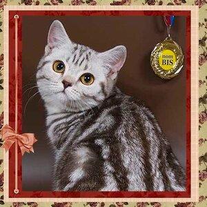 Symphony of wind a. Softcat (BRI bs 22 62) британская короткошерстная кошка шоколадного серебристого мраморного окраса