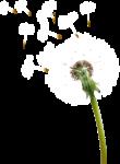 Abstract Dandelions5 [преобразованный].png