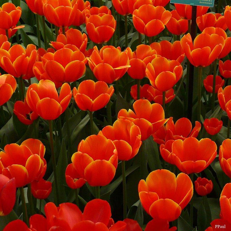 Мир Тюльпанов Койкенхофа