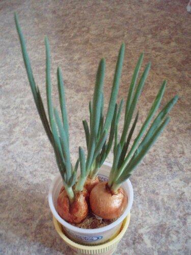 Зелёный лук из луковиц. 0_5c4ae_77368ce9_L