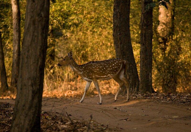 Аксис в индийском национальном парке Бандавгар