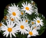белые цветы