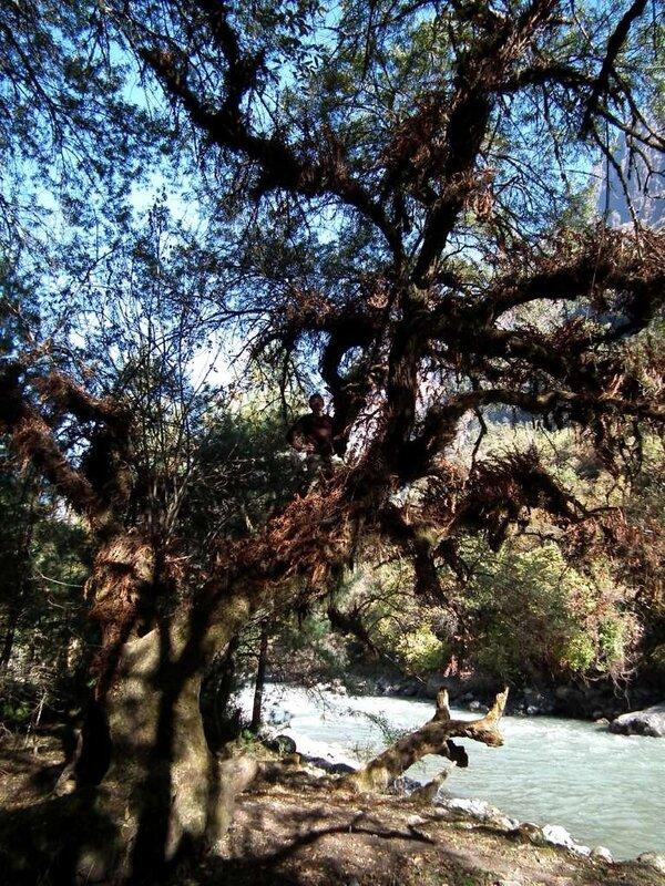 Облепиховое дерево в 2 обхвата.