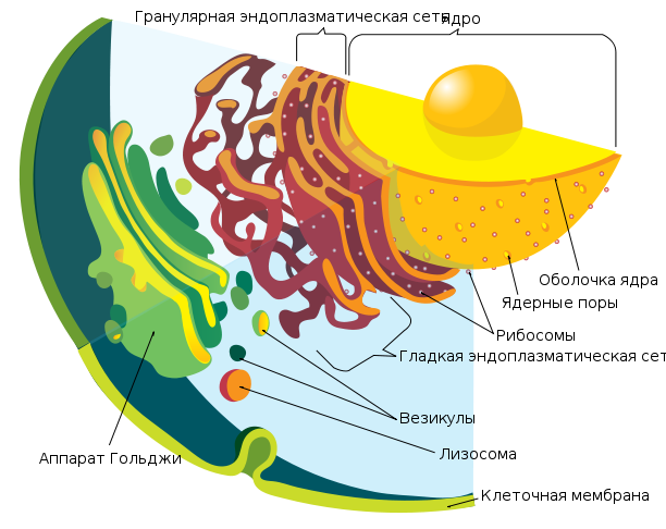612px-Endomembrane_system_diagram_ru.svg.png