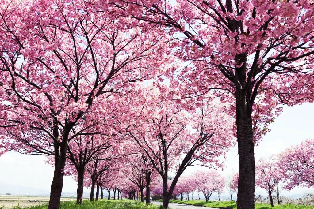 Картинки красивые дерево сакура
