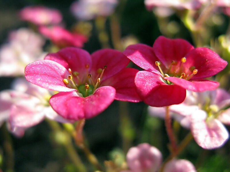 Два аленьких цветочка