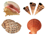 SD NV SEASHELLS 2.png