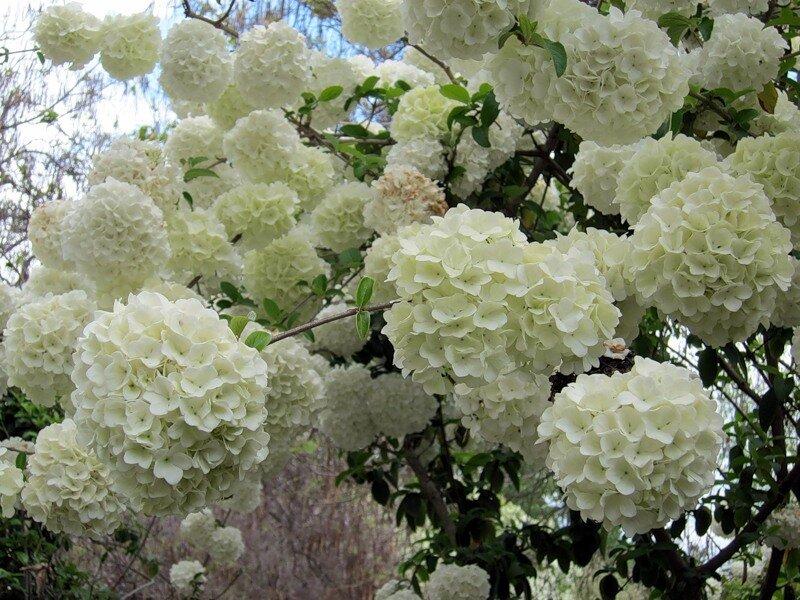 Дерево называется chinese snowball, то есть китайские снежки.
