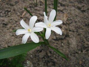 Ещё один новосёл цветника - белая хионодокса.