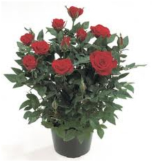 Горшочные розы