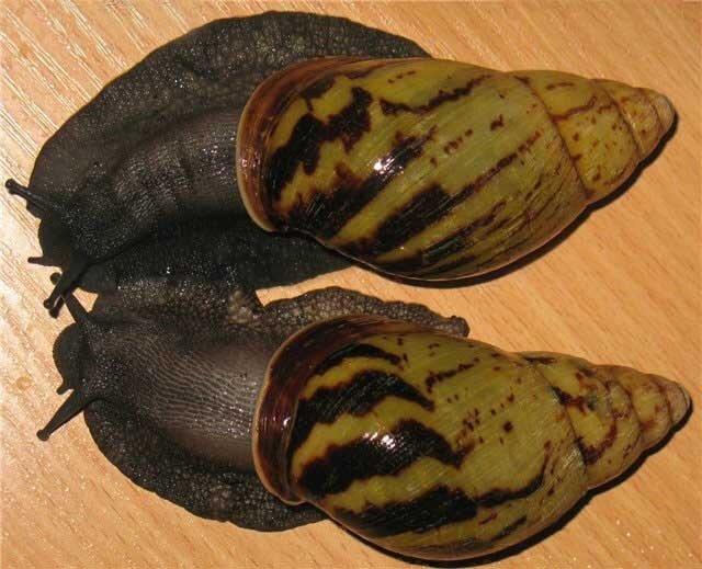 Archachatina camerunensis 0_53f5b_d8361112_XL
