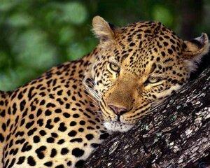 РФ и Китай сохранят тигров и леопардов