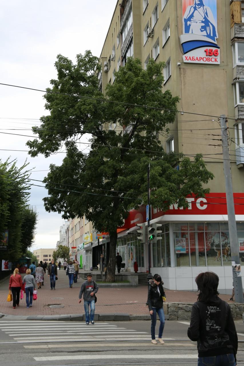 Ясень манчжурский, посаженный Арсеньевым.JPG