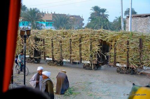 сахарный тростник, египет