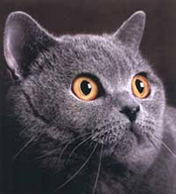 Американский стандарт описывает кошек британской породы следующим